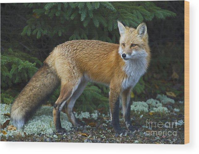 Nina Stavlund Wood Print featuring the photograph Mr. Fairy Tale.. by Nina Stavlund