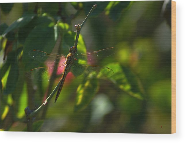 Insect Wood Print featuring the photograph My Dragonfly by Lorenzo Williams