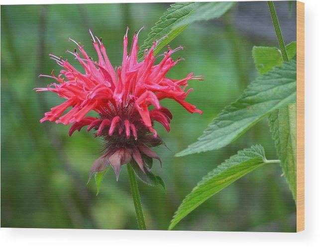 Bee Balm Wood Print featuring the photograph Mystical Bee Balm by Marjorie Tietjen