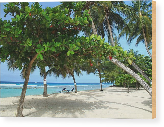 Barbados Wood Print featuring the photograph Natures Umbrella Tree by Catie Canetti