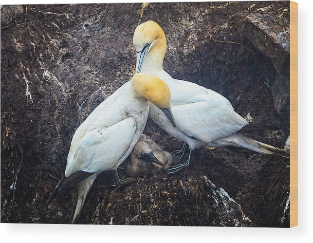Northern Gannet Wood Print featuring the photograph Northern Gannets And Chick by Perla Copernik