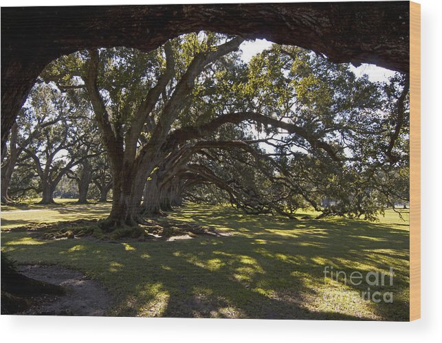 Trees Wood Print featuring the photograph Oak Trees  #5794 by J L Woody Wooden