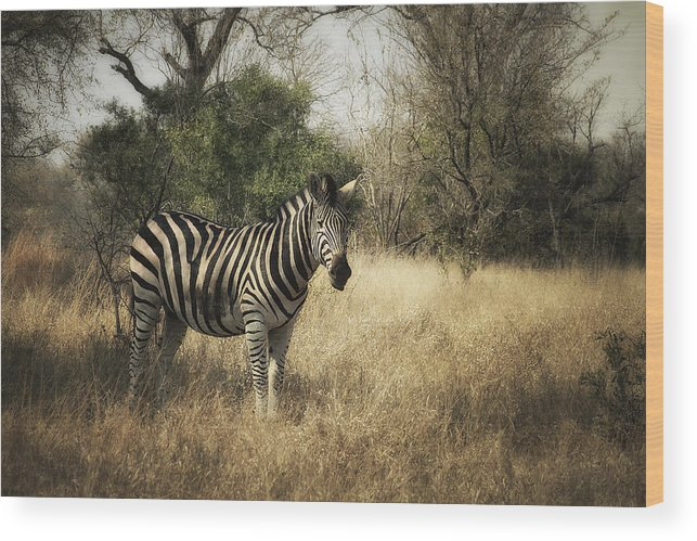 Zebra Wood Print featuring the photograph Only One by Kim Andelkovic