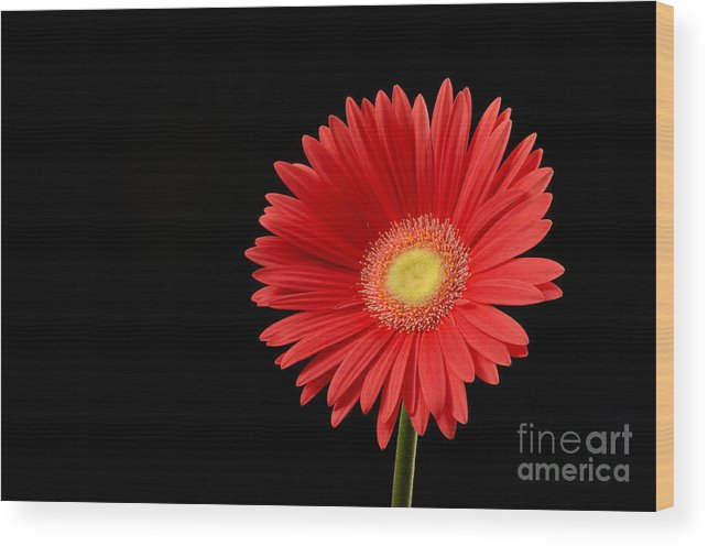 Background Wood Print featuring the photograph Orange Gerber Daisy by Gord Horne