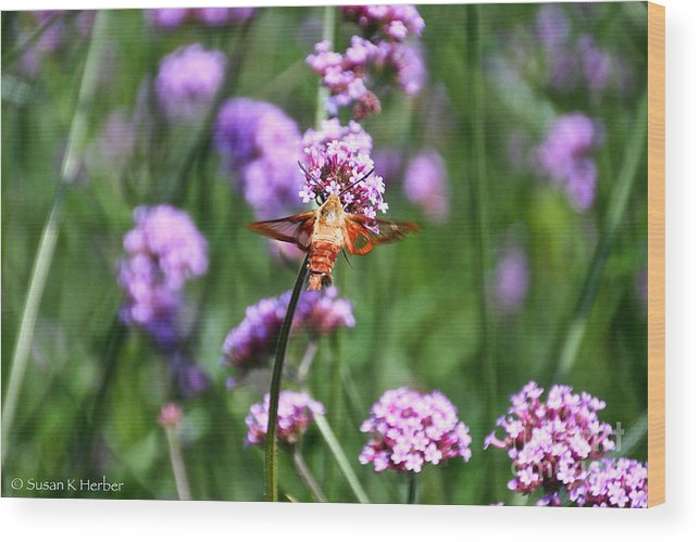 Insect Wood Print featuring the photograph Orange Hummingbird Moth by Susan Herber