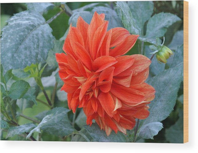 Flowers Wood Print featuring the photograph Orange Pedals by Thomas D McManus