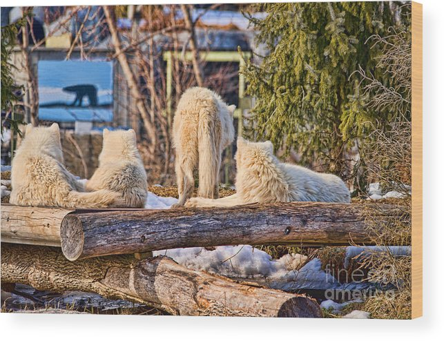 Arctic Wood Print featuring the photograph Pack Of Arctic Wolves Watching A Polar Bear Movie by Les Palenik