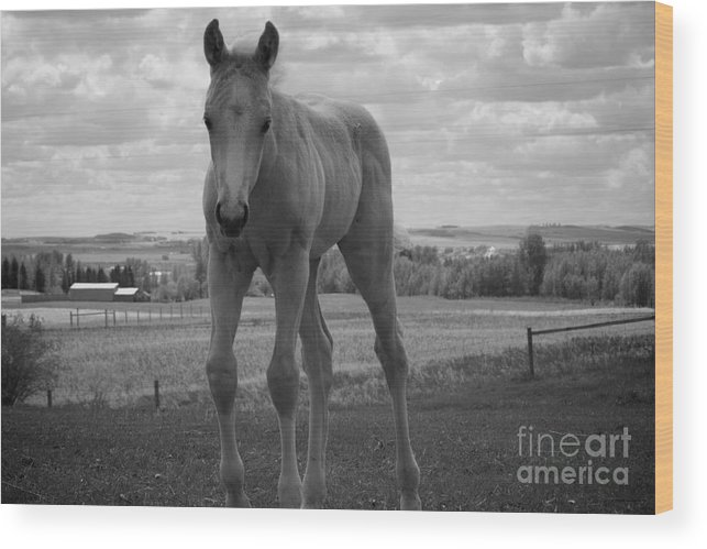 Palomino Wood Print featuring the photograph Palomino In Black And White by Cheryl Hurtak