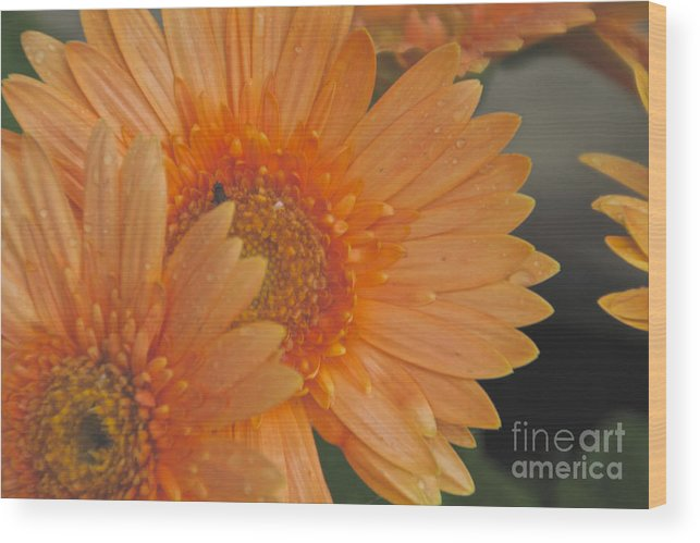 Peach Daisy Wood Print featuring the photograph Peach Daisy Cluster by William Norton