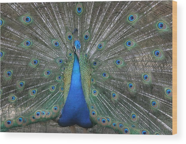 Bird Wood Print featuring the photograph Peacock by Dervent Wiltshire
