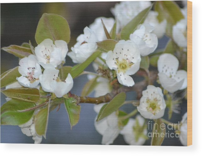 Nature Wood Print featuring the photograph Pear Tree Blooms by Kris Wolf