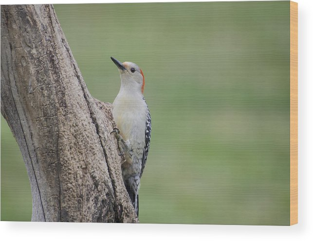 Woodpecker Wood Print featuring the photograph Pecker by Heather Applegate