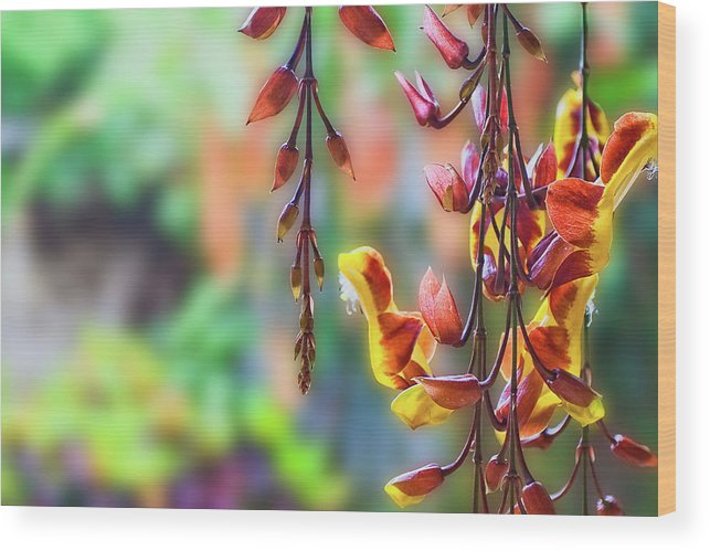 Antigua Wood Print featuring the photograph Pending Flowers by Roberto Pagani