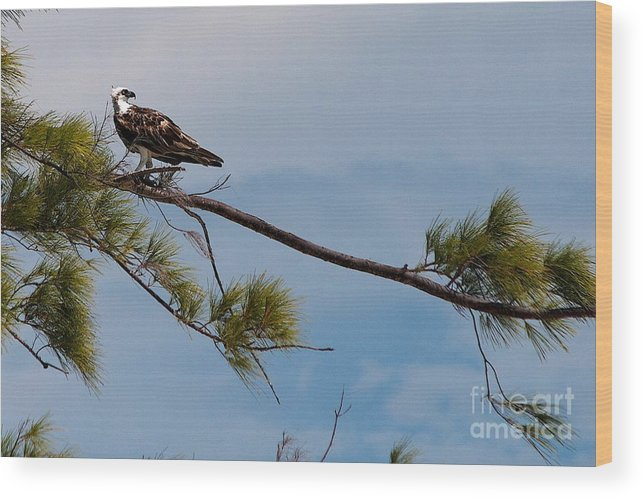 Pine Tree Wood Print featuring the photograph Perched Osprey by Cheryl Hurtak