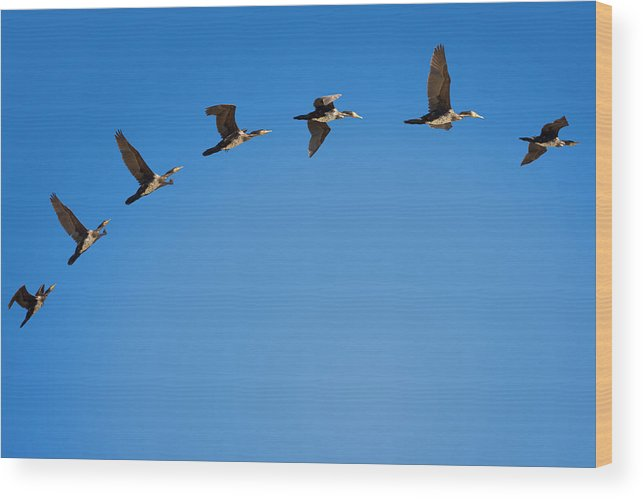 In A Row Wood Print featuring the photograph Phalacrocorax Flight by Daniele Carotenuto Photography