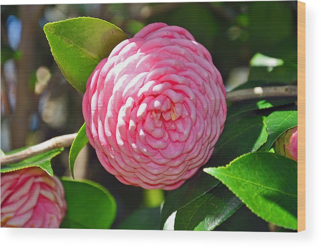 Floral Wood Print featuring the photograph Pink Camellia by Deborah Good