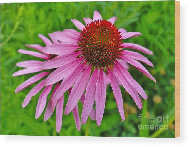 Bloom Wood Print featuring the photograph Pink Cone Flower by Janice Pariza