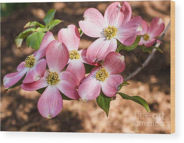 Pink Dogwood Flowers Photograph Wood Print featuring the photograph Pink Dogwood Blooms by Terri Morris