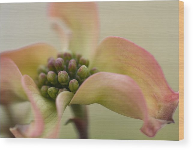 Blooming Wood Print featuring the photograph Pink Dogwood Macro by Karen Forsyth