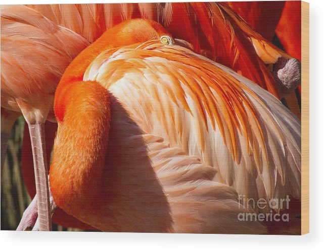 Pink Flamingo Wood Print featuring the photograph Pink Florida Flamino Resting by Darleen Stry