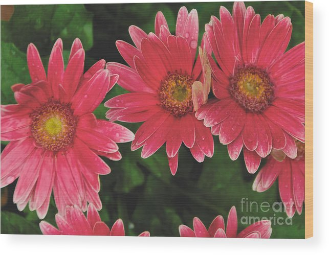 Pink Wood Print featuring the photograph Pink Gerbera Daisy by William Norton