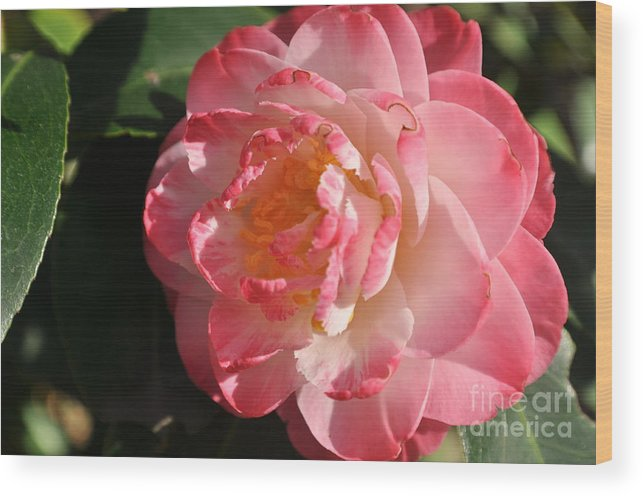 Pink Camilla Wood Print featuring the photograph Pink Perfection by Lindsey Wright