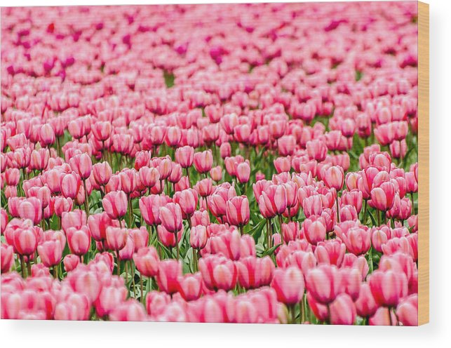 Wood Print featuring the photograph Pink Tulip Carpet by Puget Exposure