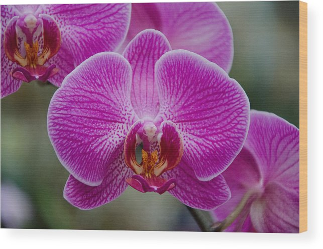 Orchid Wood Print featuring the photograph Pink Veins by Heidi Kleva