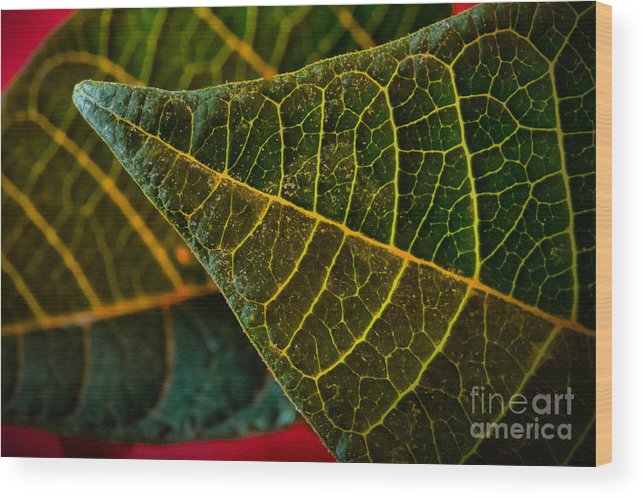 Art Prints Wood Print featuring the photograph Poinsettia Green Leaf by Dave Bosse