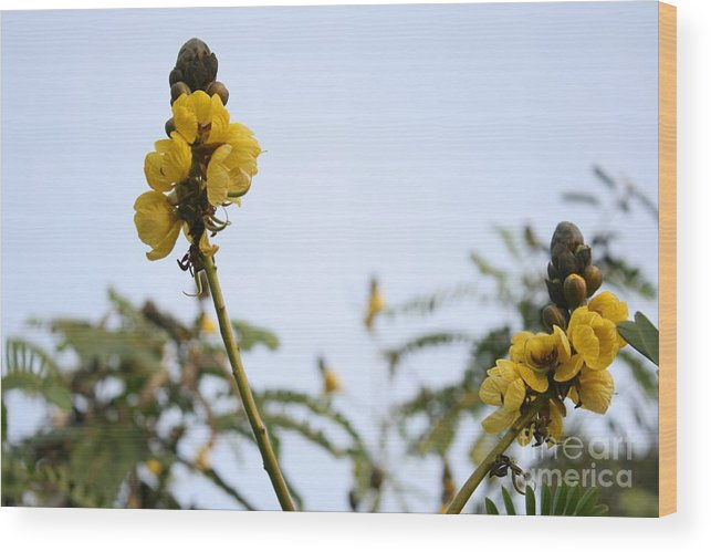 Cassia Didymobotrya Wood Print featuring the photograph Popcorn Blossoms by Crissy Boss