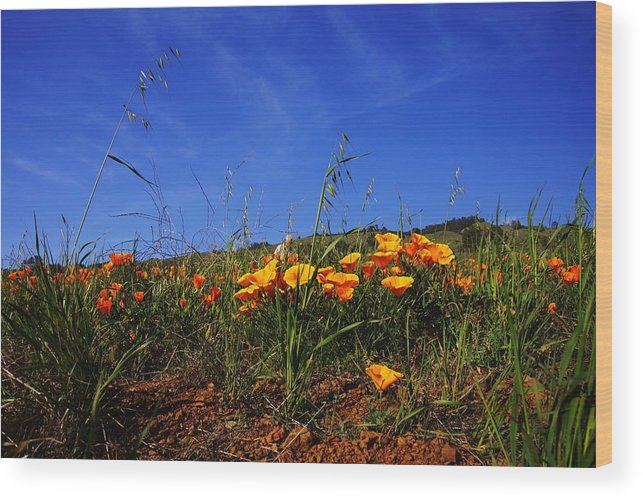 Poppies Wood Print featuring the photograph Poppy Hill by Michael Courtney