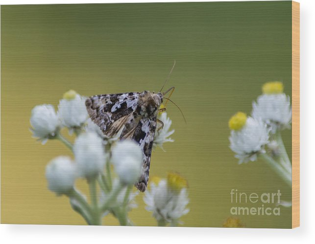 Moth Wood Print featuring the photograph Probe by Bryan Neuswanger