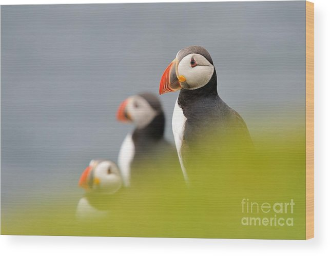 Fratercula Wood Print featuring the photograph Puffins In Iceland by Erik Mandre