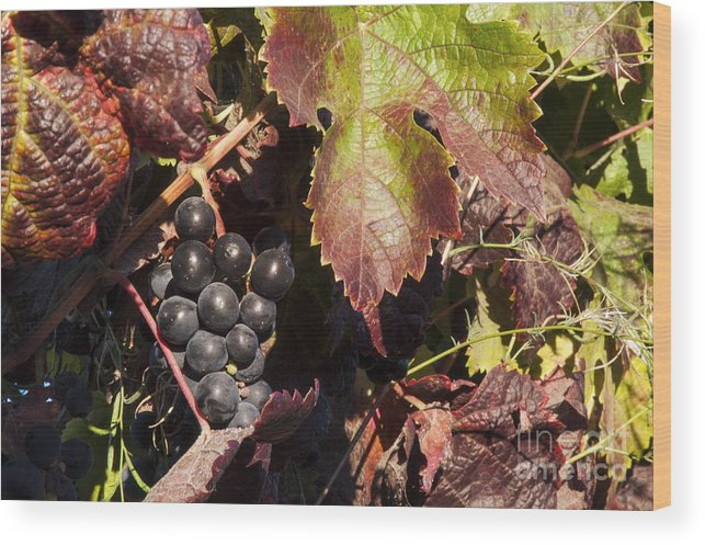 Napa Valley California Wineries Winery Cluster Clusters Grape Grapes Grapevine Grapevines Vine Vines Leaf Leaves Food Vineyard Vineyards Wood Print featuring the photograph Purple Cluster by Bob Phillips