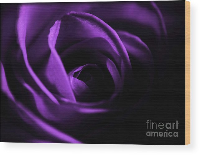 Rose Wood Print featuring the photograph Purple Passion by Robin Lynne Schwind