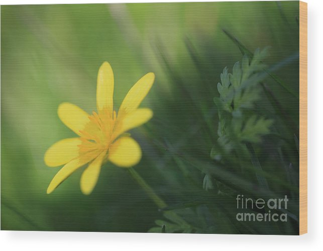 Ranunculus Ficaria Wood Print featuring the photograph Ranunculus Ficaria - Yellow Buttercup by LHJB Photography