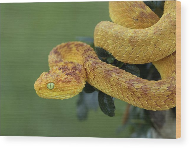 Rare Variable Bush Viper (red/yellow Phase) In Rainforest Wood Print