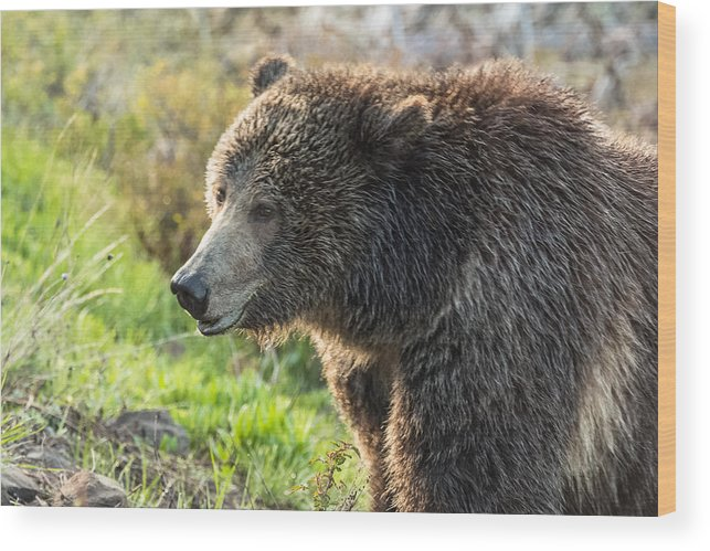 Grizzly Bear Wood Print featuring the photograph Raspberry At Dawn by Yeates Photography