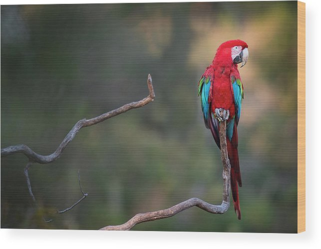 Macaw Wood Print featuring the photograph Red-and-green Macaw Sitting On Branch by Sean Caffrey