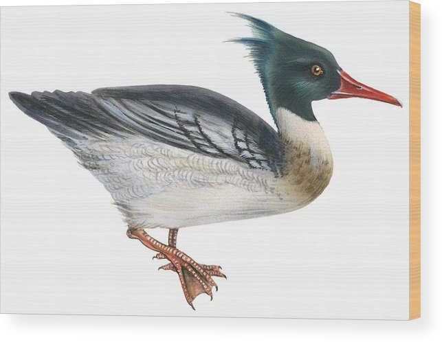 No People; Horizontal; Full Length; White Background; Standing; One Animal; Animal Themes; Illustration And Painting; Red-breasted Merganser; Aquatic; Mergus Serrator; Bird Wood Print featuring the drawing Red-breasted Merganser by Anonymous