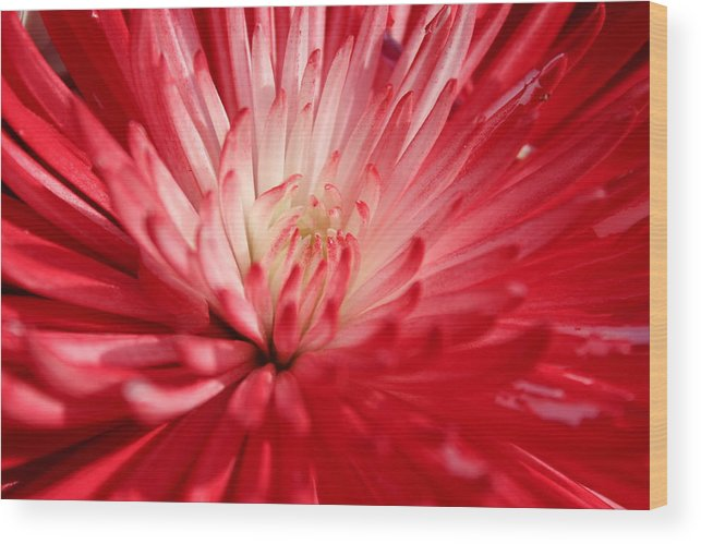 Red Wood Print featuring the photograph Red Flower by Peggy Burley