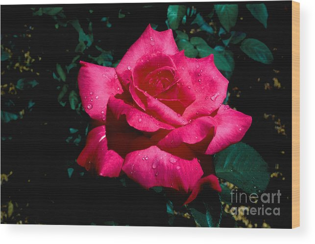 Flowers Wood Print featuring the photograph Red Rose by Robert Kleppin