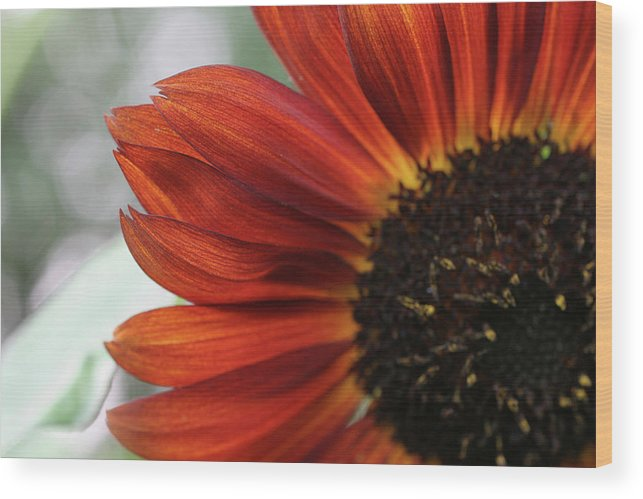 Anna Miller Wood Print featuring the photograph Red Sunflower Close-up by Anna Miller