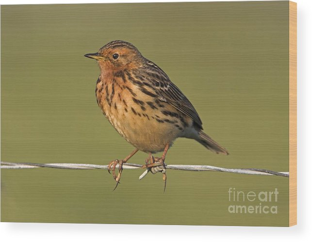 Biology Wood Print featuring the photograph Red-throated Pipit On A Fence by Bildagentur-online