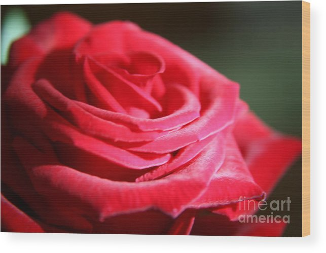 Red Wood Print featuring the photograph Red Velvet Rose By Morning Light by Lynn England