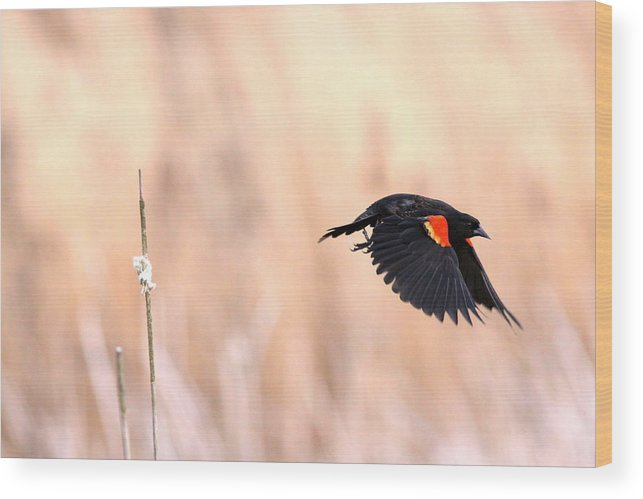 Flying Wood Print featuring the photograph Red-wing Blackbird In Flight by Travis Truelove