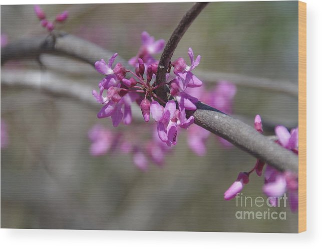 Spring Wood Print featuring the photograph Redbud Blossom by Desiree Buchanan