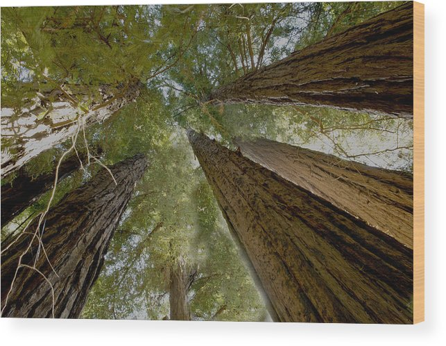 Mountains Wood Print featuring the photograph Redwood Canopy by Bryan Shane
