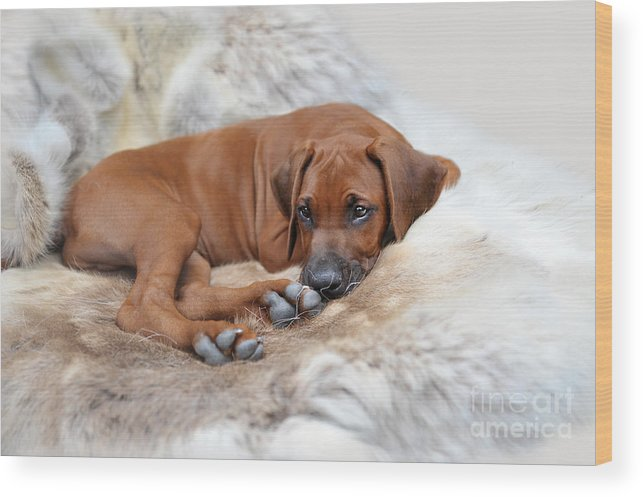 Dog Wood Print featuring the photograph Ridgy Daydream by Lena Lottsfeldt Vincken