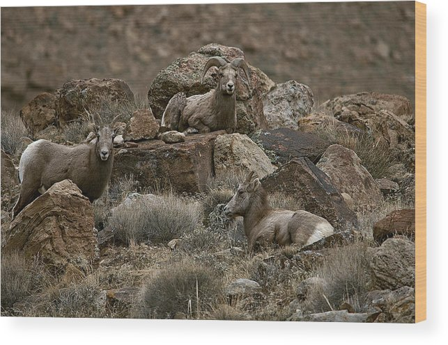Bighorn Sheep Wood Print featuring the photograph Rock Life by Eric Nelson